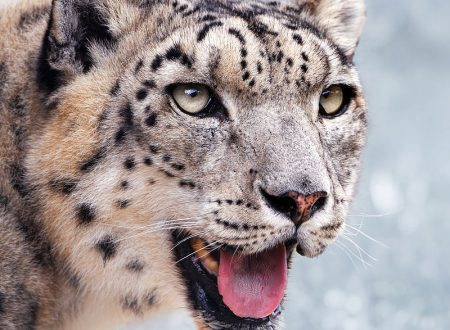 Leopardo delle Nevi giornata mondiale