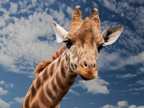 Giraffa giornata mondiale 21 giugno