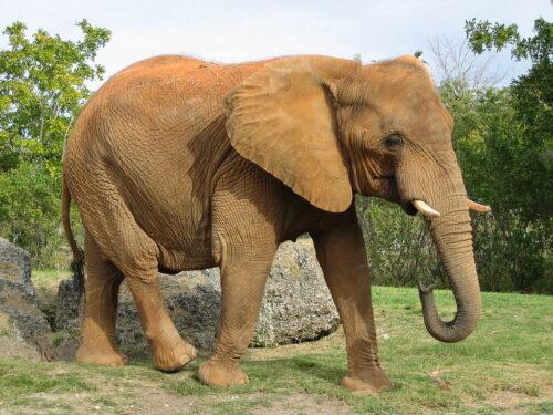 Elefante giornata mondiale 12 agosto